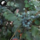 Buy Mahonia Bealei Seeds 240pcs Plant Mahonia Fortunei For Shi Da Gong Lao
