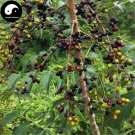 Buy Brucea Javanica Seeds 240pcs Plant Java Brucea Tree For Herb Ya Dan Zi