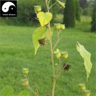 Buy Chingma Abutilon Seeds 100pcs Plant Cluster Mallow For Malvae Dong Kui Zi