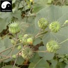 Buy Chingma Abutilon Seeds 400pcs Plant Cluster Mallow For Malvae Dong Kui Zi
