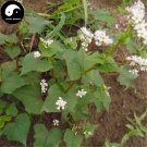 Buy Herb Buckwheat Seeds 100pcs Plant Fagopyrum Esculentum For Qiao Mai