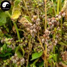 Buy Herb Buckwheat Seeds 400pcs Plant Fagopyrum Esculentum For Qiao Mai