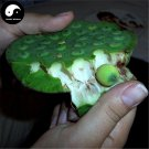 Buy Fruit Lotus Seeds 100pcs Water Plant Herb Nelumbo Nucifera For Food Lian Zi