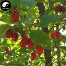 Buy Cornus Officinalis Seeds 240pcs Plant Cornus Tree For Chinese Shan Zhu Yu