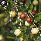 Buy Wild Jujube Tree Seeds 120pcs Plant Ziziphus Jujuba For Chinese Suan Zao Ren