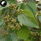 Buy Honey Raisin Tree Seeds 60pcs Plant Chinese Hovenia Acerba For Guai Zao