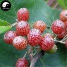 Buy Elaeagnus Umbellate Seeds 40pcs Plant Autumn Elaeagnus Tree For Niu Nai Zi