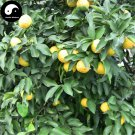 Buy Citrus Medica Tree Seeds 120pcs Plant Citron Fruit For Herb Xiang Yuan