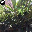Buy Amomum Villosum Seeds 60pcs Plant Chinese Herb Amomi For Sha Ren