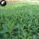 Buy Stevia Seeds 240pcs Plant Chinese Sugar Herb Stevia For Tian Ye Ju