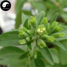 Buy Stevia Seeds 60pcs Plant Chinese Sugar Herb Stevia For Tian Ye Ju