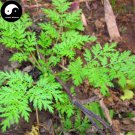 Buy Herba Artemisiae Annua Seeds 200pcs Plant Sweet Wormwood For Herb Qing Hao
