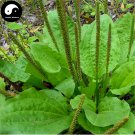 Buy Plantain Herb Seeds 200pcs Plant Herba Plantaginis For Che Qian Cao
