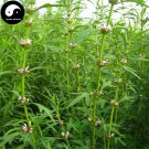 Buy Motherwort Herb Seeds 400pcs Plant Herba Leonuri For Leonurus Yi Mu Cao