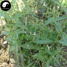Buy Andrographis Herb Seeds 100pcs Plant Herba Andrographis For Chuan Xin Lian