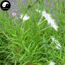 Buy Dianthus Superbus Seeds 200pcs Plant Herba Dianthi For Qu Mai Cao