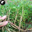 Buy Herba Portulacae Seeds 400pcs Plant Chinese Parslane Herb For Ma Chi Xian