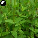 Buy Skullcap Herb Seeds 100pcs Plant Scutellariae Barbatae For Ban Zhi Lian