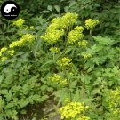 Buy Herba Patriniae Seeds 100pcs Plant Dahurian Patrinia Herb For Bai Jiang Cao
