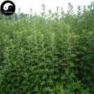 Buy Artemisiae Argyi Seeds 400pcs Plant Argy Wormwood Herb For Mugwort Ai Cao Ye