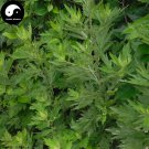 Buy Artemisiae Argyi Seeds 200pcs Plant Argy Wormwood Herb For Mugwort Ai Cao Ye