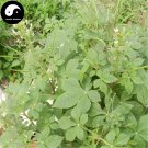 Buy Cleomes Gynandrae Seeds 400pcs Plant Spiderflower Herb For Bai Hua Cai