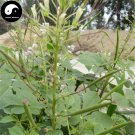 Buy Cleomes Gynandrae Seeds 200pcs Plant Spiderflower Herb For Bai Hua Cai