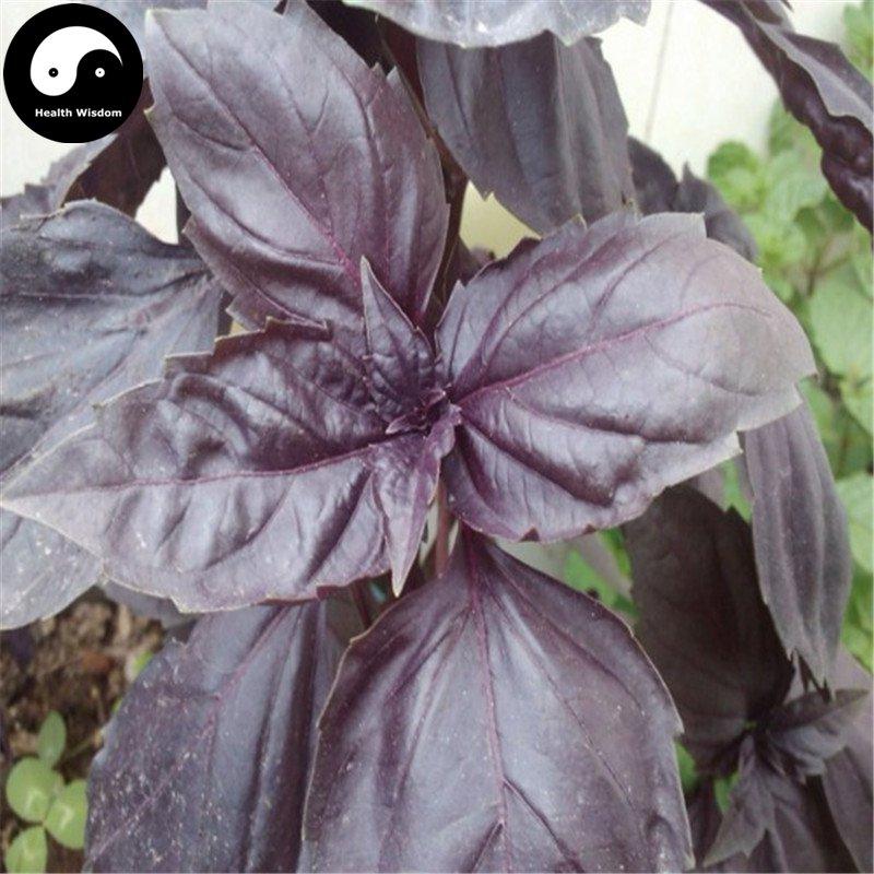 Buy Purple Basil Herb Seeds 100pcs Plant Ocimum Basilicum For Ruffles Luo Le