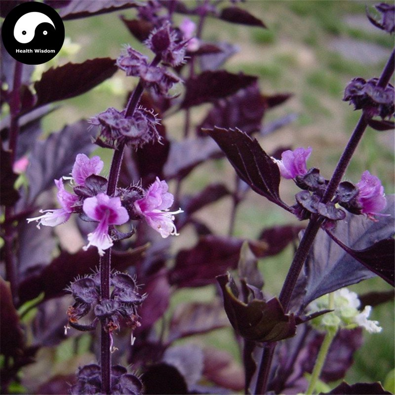 Buy Purple Basil Herb Seeds 200pcs Plant Ocimum Basilicum For Ruffles Luo Le