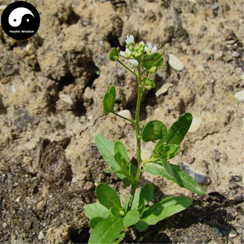Buy Herba Thlaspis Seeds 100pcs Plant Boor's Mustard Herb For Xi Ming