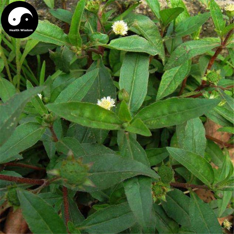 Buy Herba Ecliptae Seeds 400pcs Plant Yerbadetajo Herb For Mo Han Lian Cao