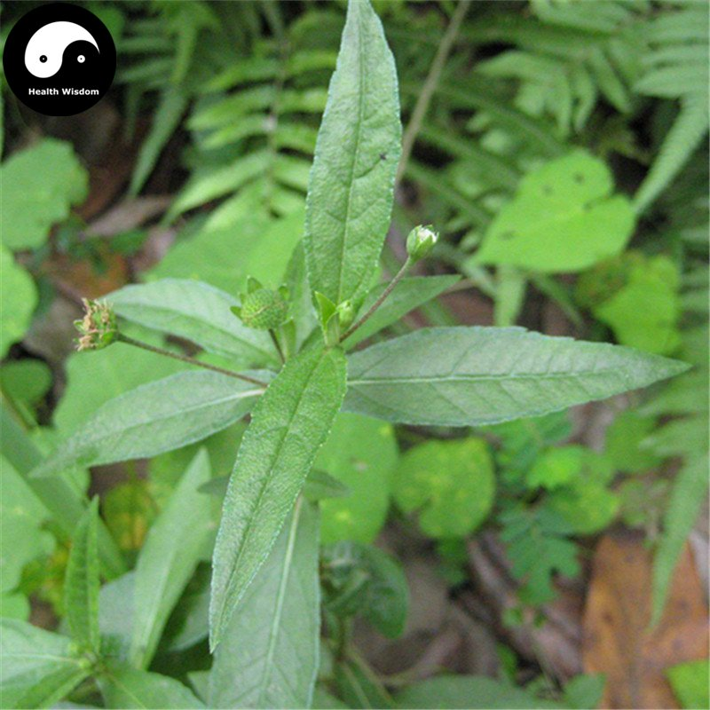 Buy Herba Ecliptae Seeds 100pcs Plant Yerbadetajo Herb For Mo Han Lian Cao