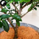 Buy Tieguanyin Tree Seeds 60pcs Plant Olong Tea Tie Guan Yin For Ti Kwan Yin