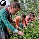 Buy Green Tea Tree Seeds 30pcs Plant West Lake Dragon Well For Xi Hu Long Jing
