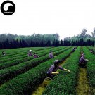 Buy Green Tea Tree Seeds 120pcs Plant Dong Ting Biluochun For Pi Luo Chun Cha