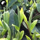 Buy White Tea Tree Seeds 120pcs Plant Fuding White Tea For Fu Ding Bai Cha