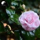 Buy Camellia Japonica Tree Seeds 120pcs Plant Camellia For Tea Flower Cha Hua