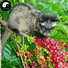 Buy Coffee Tree Seeds 50pcs Plant Chinese Yunnan Arabica Coffee Garden