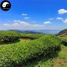 Buy Wuyi Oolong Tea Tree Seeds 120pcs Plant Wu Yi Yan Cha For Da Hong Pao