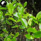 Buy Wuyi Oolong Tea Tree Seeds 30pcs Plant Wu Yi Yan Cha For Da Hong Pao