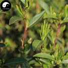 Buy Wuyi Black Tea Tree Seeds 60pcs Plant Wu Yi Black Tea For Jin Jun Mei