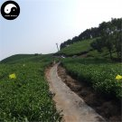 Buy Black Tea Tree Seeds 60pcs Plant Chinese Black Tea For Tan Yang Gong Fu