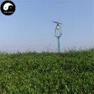 Buy Black Tea Tree Seeds 30pcs Plant Chinese Black Tea For Tan Yang Gong Fu