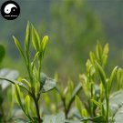 Buy Green Tea Tree Seeds 120pcs Plant Chinese Green Tea For Huang Shan Mao Feng