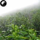 Buy Green Tea Tree Seeds 30pcs Plant Chinese Green Tea For Huang Shan Mao Feng