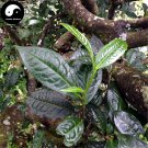 Buy Pu Erh Tea Tree Seeds 60pcs Plant Chinese Puer Tea Tree For Yunnan Pu Er
