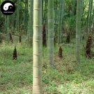 Buy Bamboo Tree Seeds 240pcs Plant Phyllostachys Heterocycla For Bamboo Shoots