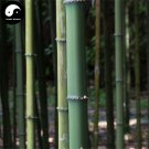 Buy Square Bamboo Tree Seeds 100pcs Plant Bamboo For Bamboo Shoots