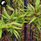 Buy Purple Bamboo Tree Seeds 200pcs Plant Bamboo For Bamboo Shoots