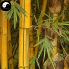 Buy Golden Bamboo Tree Seeds 200pcs Plant Bamboo For Bamboo Garden